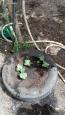 trasplante de calabaza a neumático, aprovechando el agua del grifo