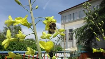 Una abejorro obrero en la flor del repollo